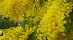 Mimosa Photo Gallery - full blooms