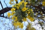 Mimosa Photo Gallery - branches blooming