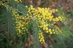 Mimosa Photo Gallery - bloom spray