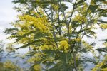 Mimosa Photo Gallery - bloom branch