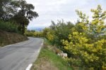 Mimosa Photo Gallery - Road in bloom 2