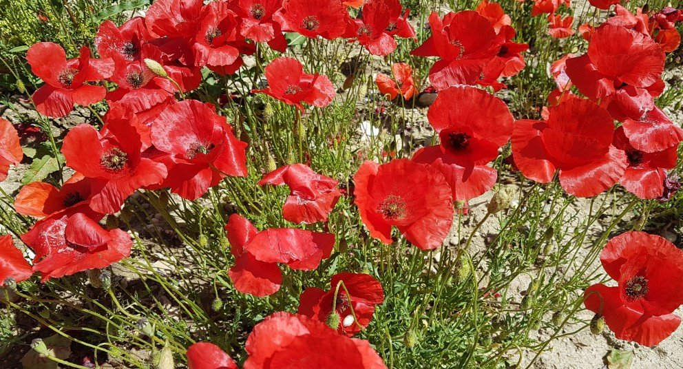 Fields of red poppies girl gone gallic coquelicot scarlet red corn poppies popaver rhoeas mightylinksfo