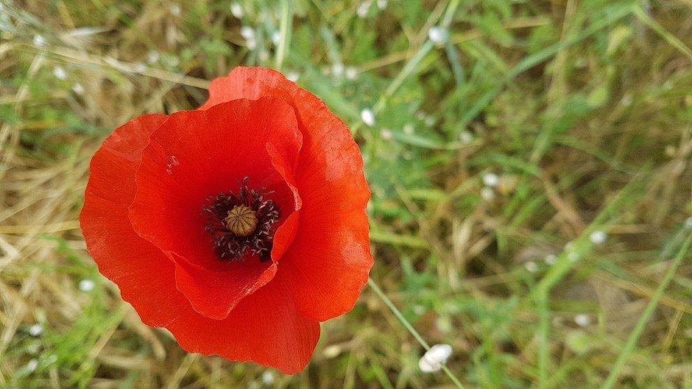 Fields of red poppies girl gone gallic scarlet red corn poppies popaver rhoeas mightylinksfo Choice Image